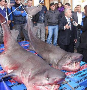 Köpekbalıklarının midesinden kemikler çıktı