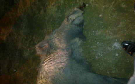 Beşkardeş Köyünde Domuz Öldürüldü