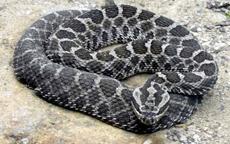 Keneden sonra yılan istilası!